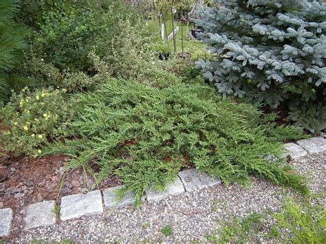 low growing evergreen shrubs compact shrubs for easy gardens gardening guide