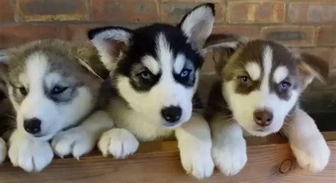 husky malamute mix puppy what does an alaskan malamute husky mix look like quora