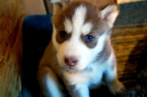 puppy huskies abandoned puppy finds new home with the sheriff s deputy who rescued the dodo