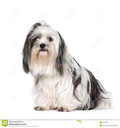 tibetan shih tzu tibetan terrier shih tzu stock image images royalty free photo breeds picture