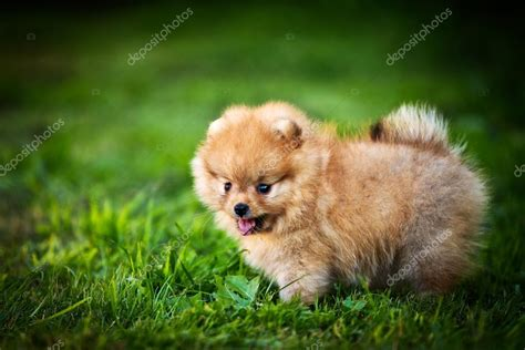 how to pronounce pomeranian german spitz picture breeds picture