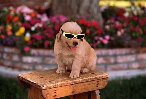 golden retriever wearing glasses sunglasses animal stock photos kimballstock