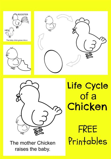 Cycle Of A Chicken Worksheet by Cycle Of A Chicken Worksheet Abitlikethis