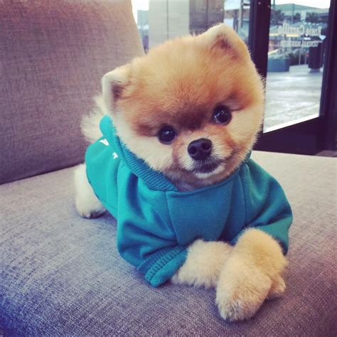 what type of is jiffpom what breed is jiff the portalideas