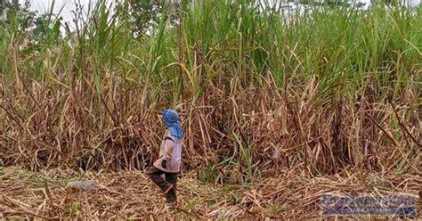 Harga Gula Jawa harga gula jawa murah petani tebu merana murianewscom