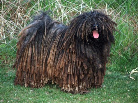 puli puppies puli breed guide learn about the puli