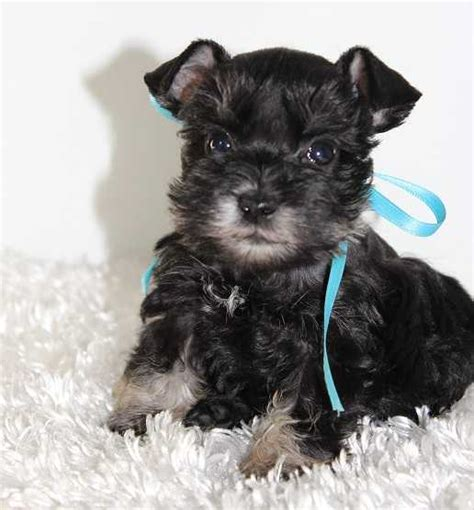 puppies for sale oklahoma miniature schnauzer breeders ok schnauzer puppies for sale ok car interior design