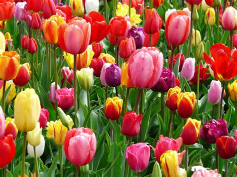 colors of tulips free coloring pages of parts of a tulip