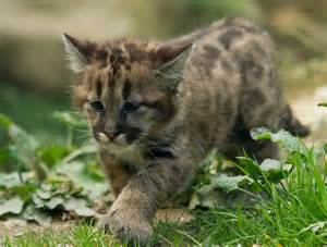 baby puma wallpapers baby animals