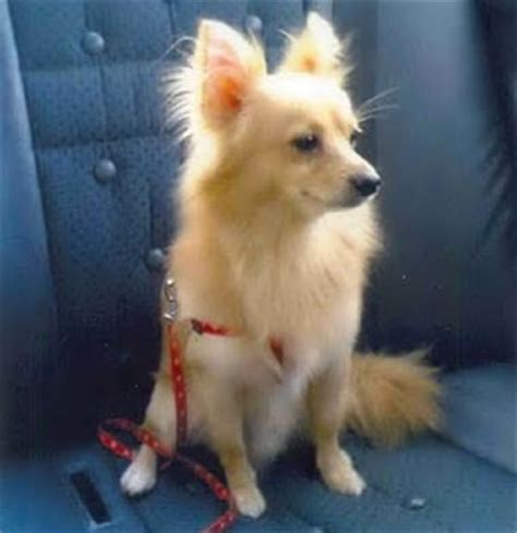 purebred pomeranian 19 is this a genuine purebred pomeranians part 1 canton pomeranians