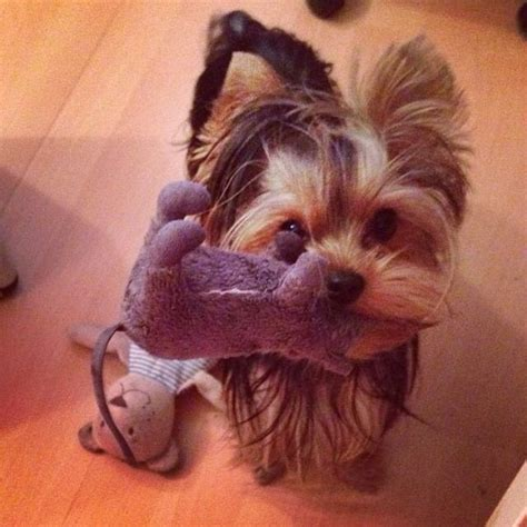 what were yorkies bred for 3417 best images about yorkies on terrier yorkie and pets