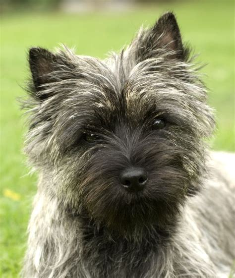 do cairn terriers get their hair cut or shaved cairn terrier a small active terrier native to scotland