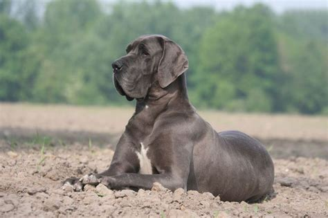 how much do great dane puppies cost a complete guide to great dane costs thehappypooch