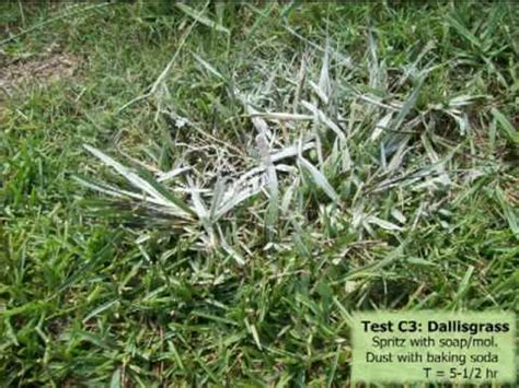 killing crabgrass with baking soda baking soda as a post emergent herbicide