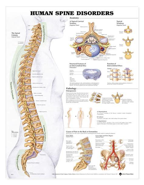 Human Spine Disorders Anatomical Chart Anatomy Models