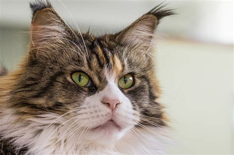 best breeds for cats the 5 best cat breeds for the homestead total survival