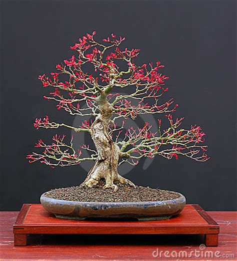 bamboo leaf japanese maple bonsai