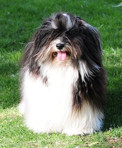 cottonwood havanese havanese chion stud arizona california r havanese