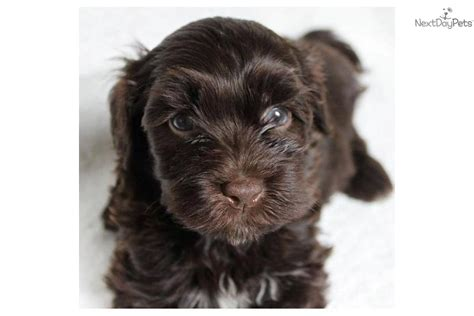 chocolate havanese puppies for sale chocolate havanese puppies angie s havanese puppies california havanese puppies
