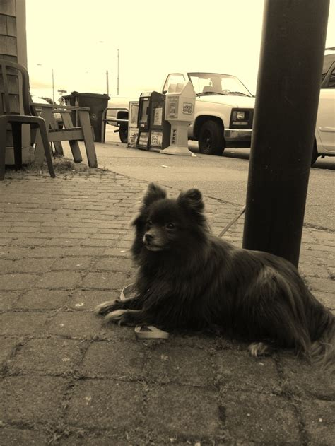 pomeranian seattle 17 best images about dogs in seattle and wa on show and
