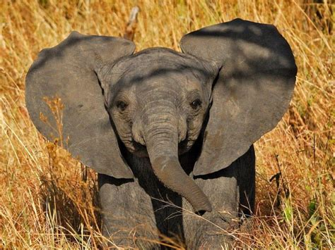 Wallpaper Elephant Cute | baby elephant wallpapers wallpaper cave