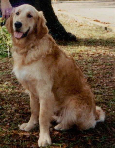 golden retriever rescue florida golden retriever retriever rescue dogs in our photo