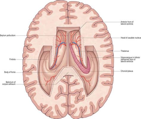 Lateral Section by Ventricular System And Subarachnoid Space Basicmedical Key