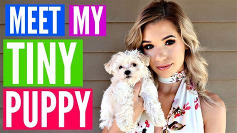 meet my meet my tiny teacup puppy so darn sylvia gani