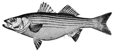Striper White striped bass clipart etc