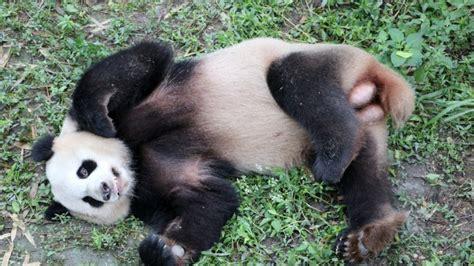 Panda Gabut panda b 228 ren meng meng und jiao qing im anflug auf berlin