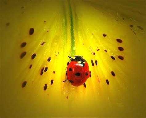 a bug of a different color the benefits 240 best images about bugs on black ladybug