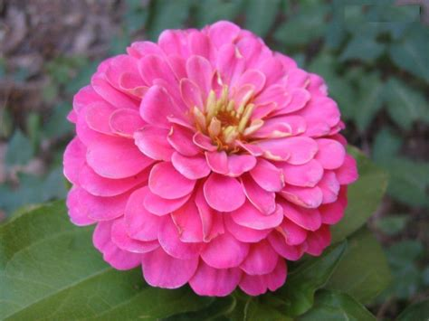 tips to grow zinnia flowers orchid flowers