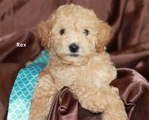 goldendoodle puppy chewing san diego goldendoodle breeder s rex