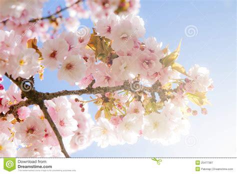 summer on blossom a novel a blossom novel de mooie boom de de zomerbloesem stock afbeelding