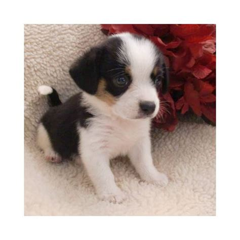 miniature beagle puppies for sale in florida beagle puppies for sale picture and images