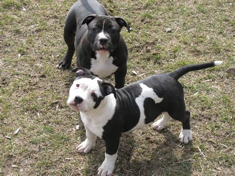 pit for sale black and white pittie babies pitbulls staffies