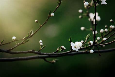 albero con fiori bianchi ramo di albero con fiori bianchi scaricare foto premium