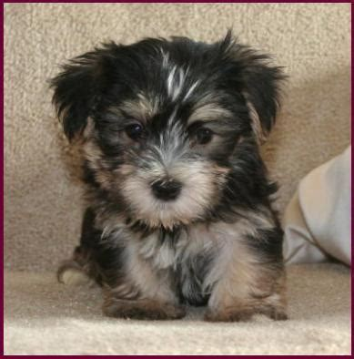 maltese puppies for sale in iowa morkie yorktese yorkie maltese puppies for sale iowa