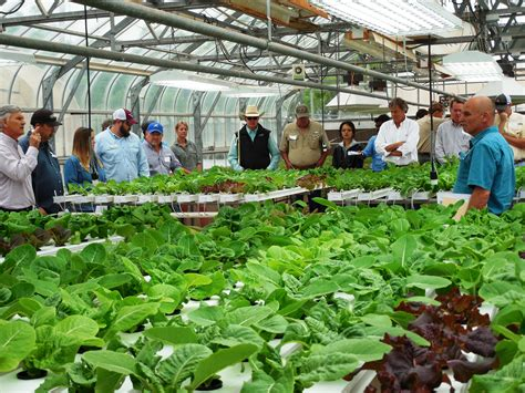 The Gardens Tamu by Growing High Value Lettuce With Low Water Use Agrilife Todayagrilife Today