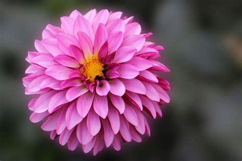La Flor De Dalia Laberinto | la flor de dalia laberinto dalia caracter 237 sticas