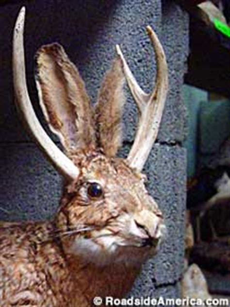 jackalope roadside creatures guide