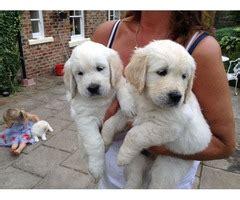 corgi golden retriever for sale pembroke corgi puppies for sale animals california city california