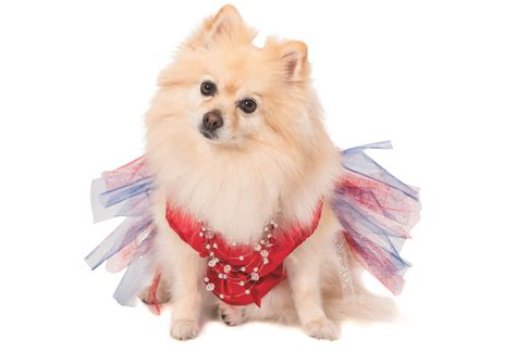 top pomeranian we re obsessed with pearl the pomeranian america s top model