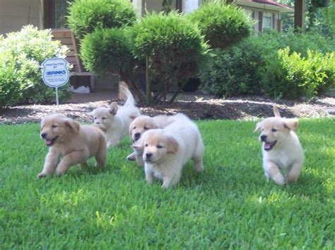 golden retriever puppies lubbock golden retriever puppies houston tx dogs our friends photo