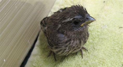 house finch babies care center blog audubon society of portland