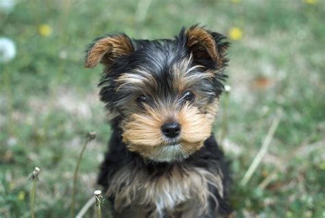 how often do yorkies yorkie puppy in grass jpg