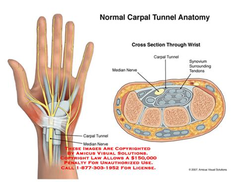carpal tunnel cross section normal carpal tunnel anatomy these images are copyrighted