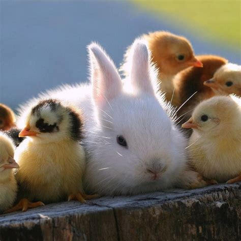 cute rabbits and chicks cute little bunny and chickens animals pinterest