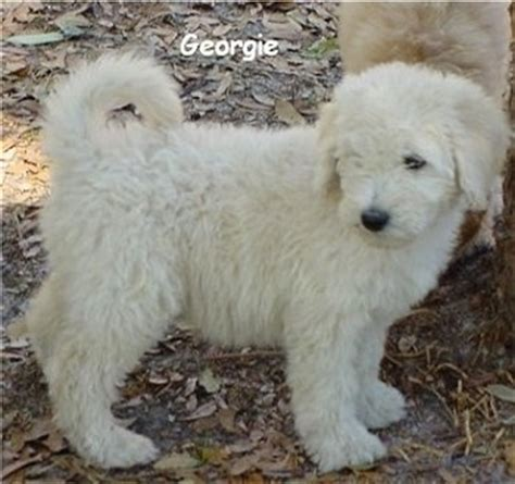 doodle rescue florida labradoodle dogs in florida breeds picture