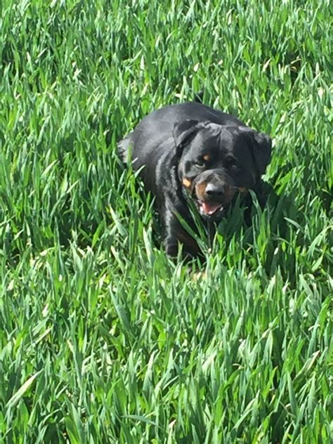 1 year rottweiler for sale rottweiler for sale rochester kent pets4homes